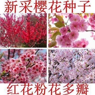 沭阳县枫树种子 樱花种子 日本樱花籽 树种子 樱花种子山樱花种子 林木花卉