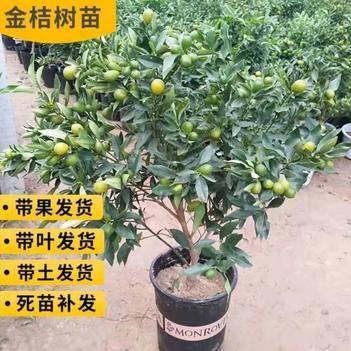 金桔苗盆栽 观赏食用兼备 品种齐全  带果带盆发货
