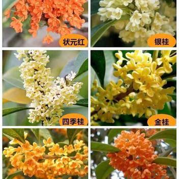 桂花树苗盆栽 品种齐全 树形美观 浓香型 南北方均可种植