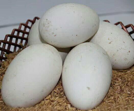 莘縣 鵝蛋,產蛋率高,吃的少,好品種,降價了降價了