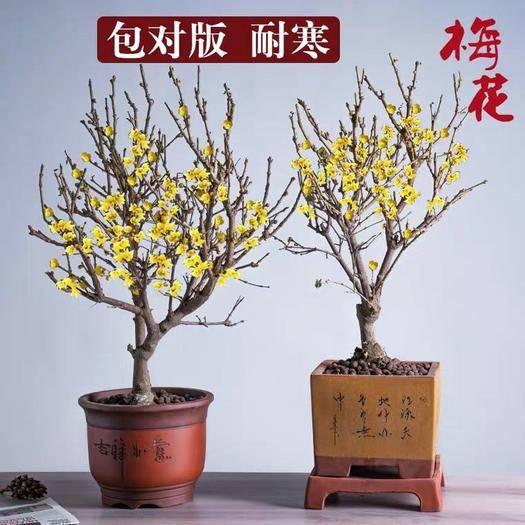 臨沂平邑縣 臘梅花 臘梅樹苗 盆栽地栽 成品臘梅樹