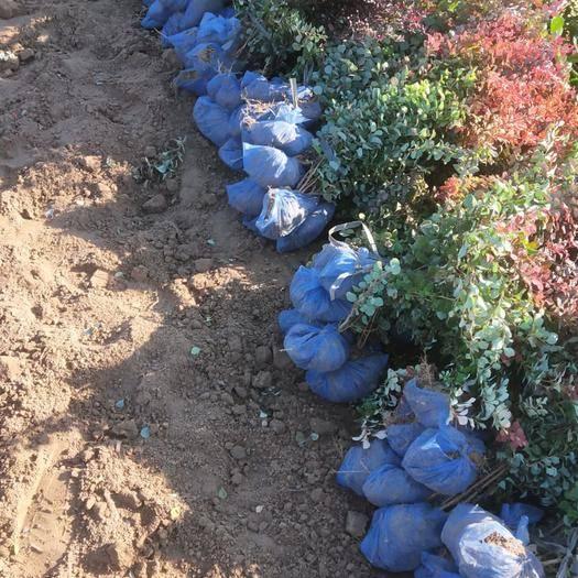 保定 紅葉小檗  自產自銷  大量供應