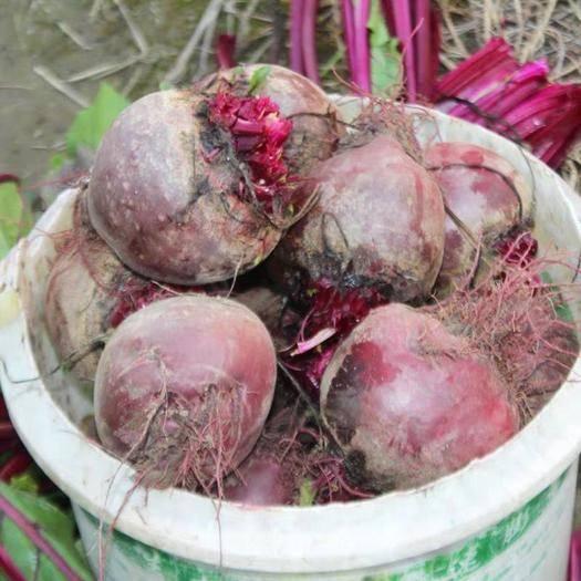 徐州云龙区 现挖甜菜根,5斤装赚,混装通货