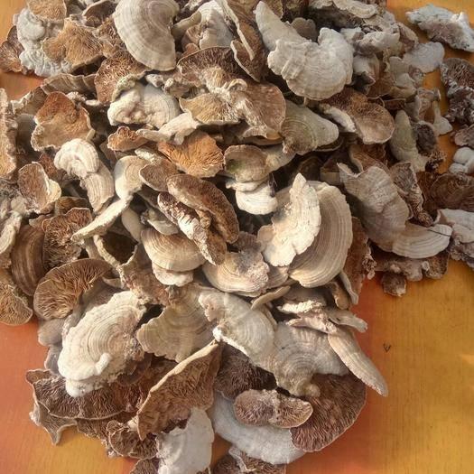 延邊朝鮮安圖縣云芝 (不一樣)樺褶層孔菌