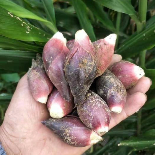 重庆武隆阳荷种苗 阳荷种根 阳荷种子蔬菜种阳荷笋种苗 阳藿姜根块阳荷姜洋