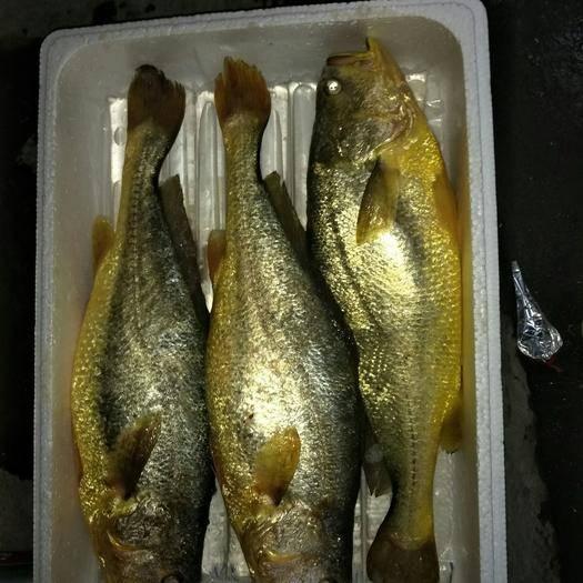 寧德蕉城區 寧德大黃魚,每條1.2-1.4斤,1.6-2.5斤規格都有