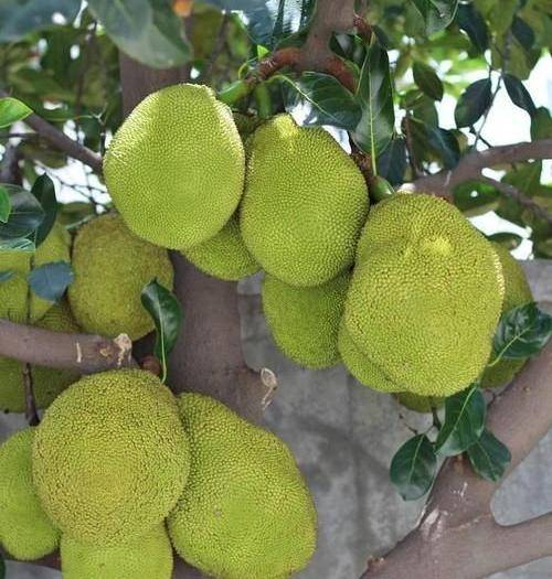 钦州灵山县红肉菠萝蜜苗 泰国12号红肉菠萝蜜一年多次开花结果,干苞、肉厚有蜜汁。