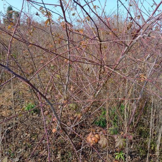 荆门京山市覆盆子种苗 大量供应覆盆子苗