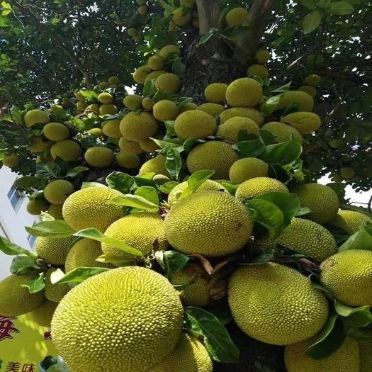 钦州灵山县越南菠萝蜜苗 粗生易管、生长迅速,早结、优质、丰产稳产、一年多次结果。