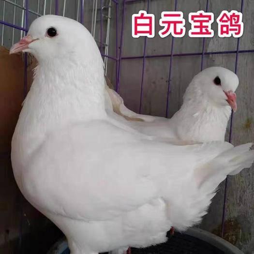 徐州新沂市 鴿子活體元寶鴿紅元寶黑元寶白元寶鴿子一對瓦灰元寶鴿子特大一
