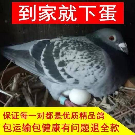徐州新沂市 鴿子活體一對原配信鴿賽鴿肉鴿觀賞鴿小鴿種鴿活物鴿子苗幼鴿包