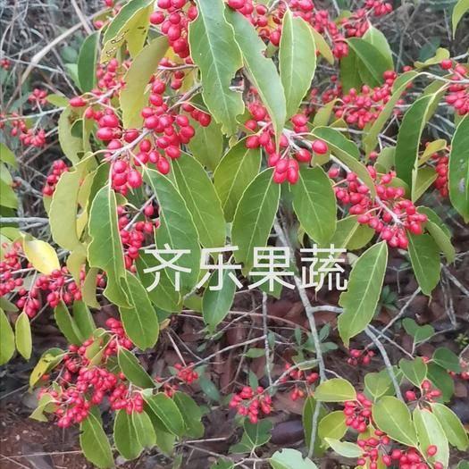 上饒鄱陽縣 救必應樹苗茶葉冬青掛果樹