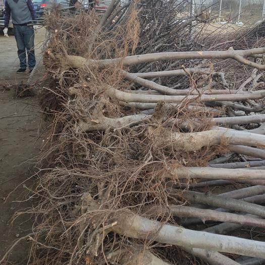 泰安岱岳區冬紅海棠 基地直供,包成活率,死苗補發