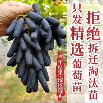 蓝宝石瑰葡萄苗  嫁接阳光玫瑰树苗基地直销现挖现发品种纯正
