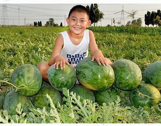 商丘夏邑县 懒汉至尊宝西瓜种子,高抗重茬,不起棱不空心,免整枝易坐果