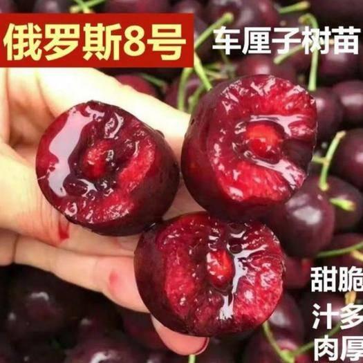 平邑县 矮化 俄罗斯8号嫁接樱桃苗 包品种包成* 技术指导