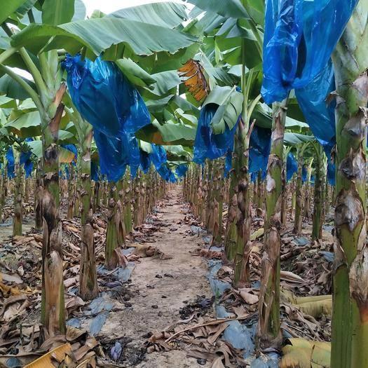 博罗县台湾芭蕉 美人芭蕉,春节后马上上市了,老板们接受预订了