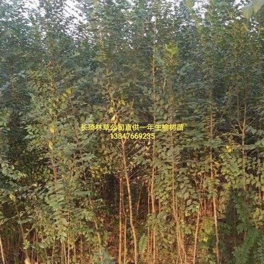 赤峰翁牛特旗柠条苗 供应榆树苗,一年生50一120公分以上,量大从优