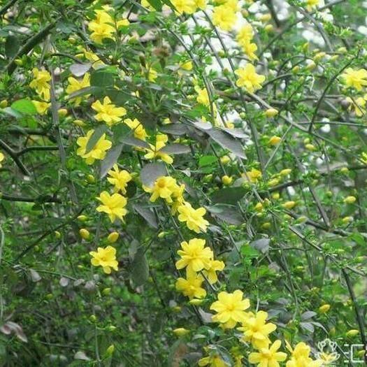 保定定州市 迎春花,喬灌木:綠化工程苗木