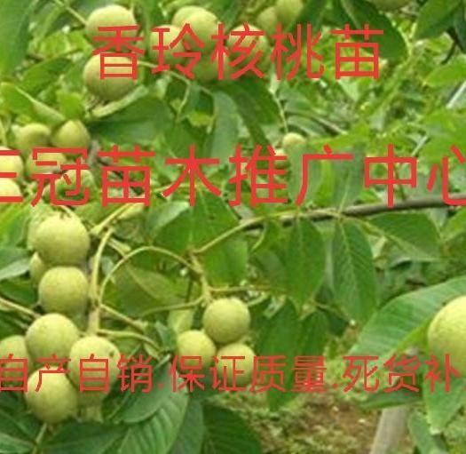 平邑县 香玲薄皮核桃苗 包品种.包成*.可签订合同.适合南北方种植