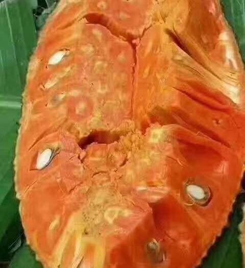 钦州灵山县红肉菠萝蜜苗 泰国12号红肉菠萝蜜,12号果肉比8号红肉菠萝蜜更红更好吃