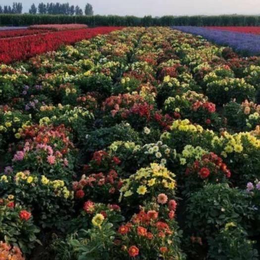 赤峰元宝山区 小丽花种子