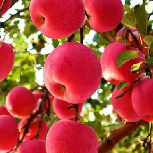 平邑县众成一号苹果树苗 保正品种质量 包成活 口感好 产量高 基地现挖发货
