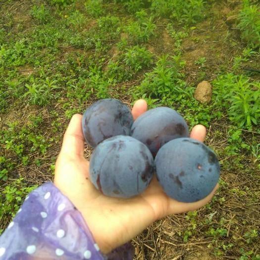 红河蒙自市 水果、黑布林、又名黑布兰、李子