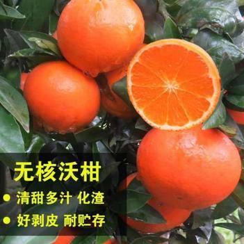 无核沃柑苗 优质品种苗 无核产量高 口感好 保湿发货