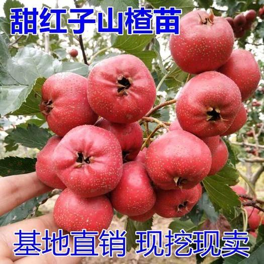 临沂兰山区 甜红子山楂树苗适合南北方种植 量大优惠 包邮 自产自销