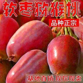 软枣猕猴桃苗 正宗嫁接红心软枣猕猴桃南北方种植基地发货当年结果盆栽地栽