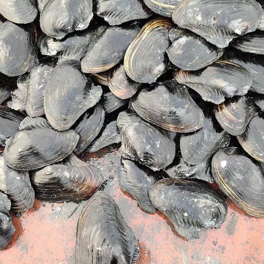 沭阳县 角蚌 河蚌