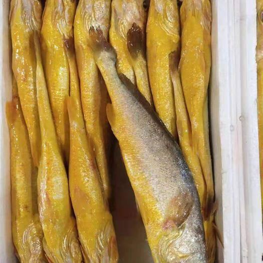 寧德霞浦縣 福建大黃魚,肉質鮮嫰飽滿,現撈分揀包裝,基地冷鏈發貨!