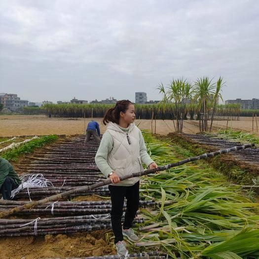 博白縣 產地熱銷廣西黑皮甘蔗,粗大均勻,節長汁多,誠信經營
