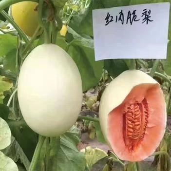红肉脆梨甜瓜种子含糖量18度果肉橘红色坐果能力强
