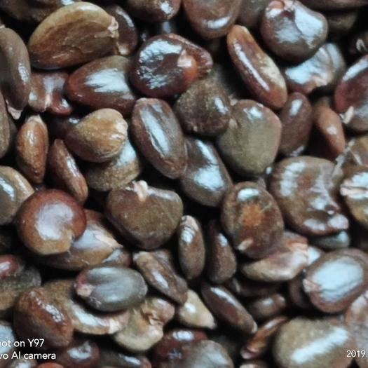 怀化通道侗族自治县黑老虎种子 优质