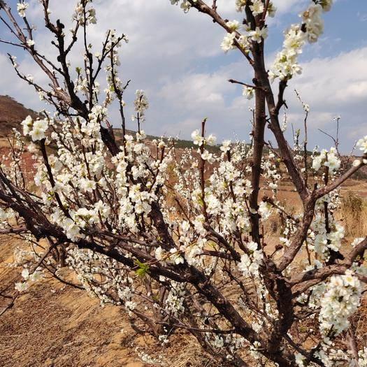 会理县半边红李子 大凉山水果离污染最远离阳光最近口感更好创销全国直得信赖