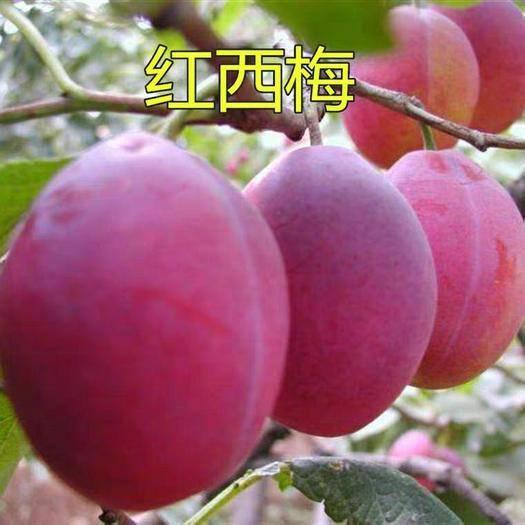 临沂平邑县 红西梅苗,品质优良,根系发达,基地直供。