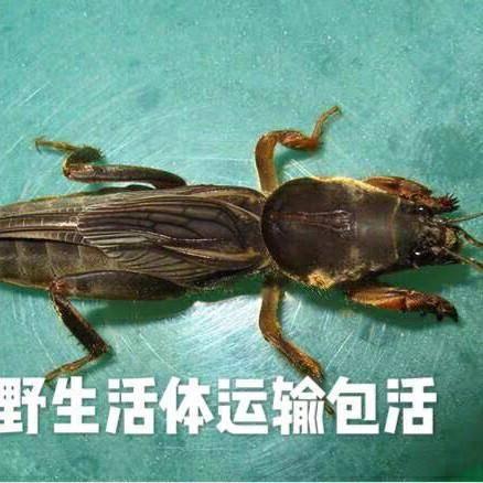 贵阳开阳县 活体蝲蝲蛄、蝼蛄虫、土狗仔   常年有货