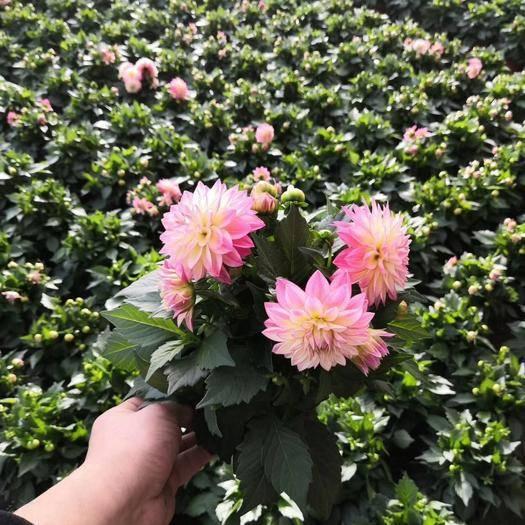 潍坊青州市小丽花种子 优质小丽花上市基地直供