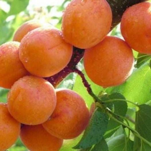 宿迁宿豫区红玉杏种子 杏树活苗杏树嫁接苗特大甜超黄白杏子树苗北方庭