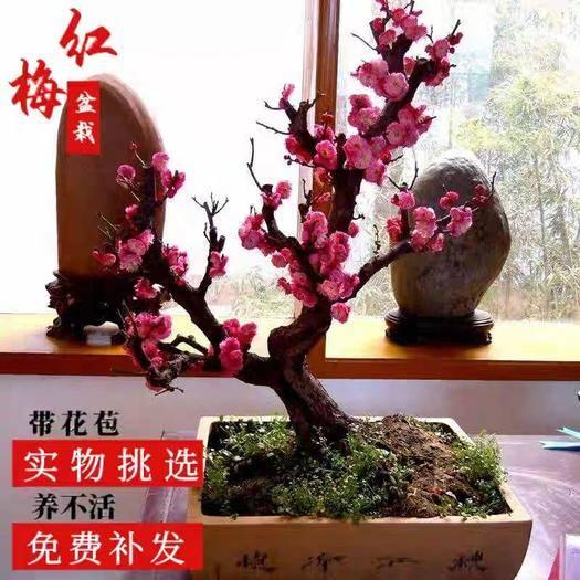 平邑縣 梅花盆栽老樁盆景紅梅臘梅濃香型花卉耐寒植物