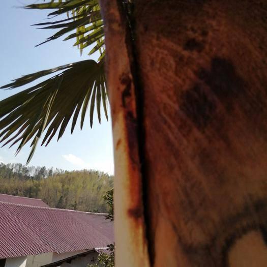 吉安安福县棕包 纯天然绿色食品棕苞
