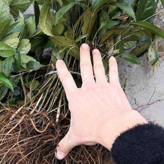 重慶 草珊瑚苗