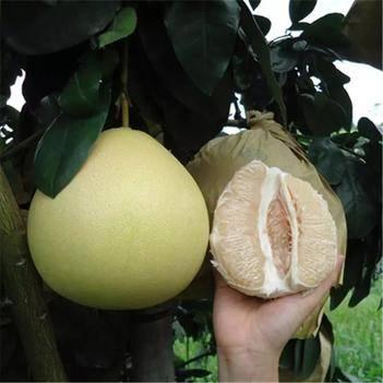 冰糖柚苗 正宗冰糖柚子苗基地发货品质保证南北方种植