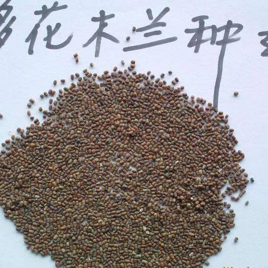 杭州 多花木兰种子 灌木种子 颗粒饱满 提供种植技术