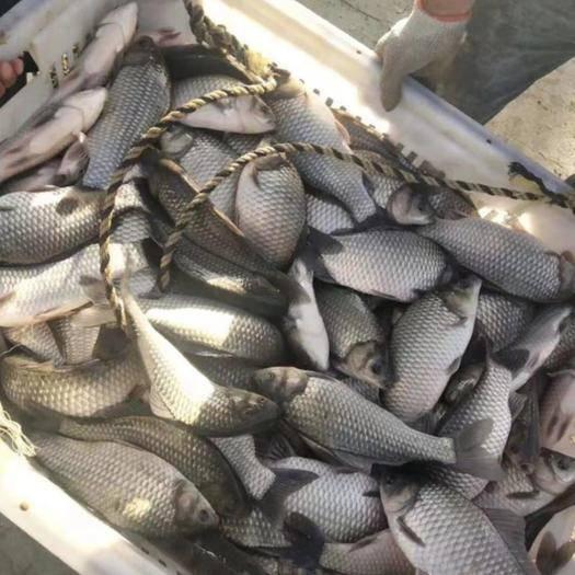 嘉鱼县 长期大量供应中科3号3两至2斤优质商品鲫鱼及鱼苗