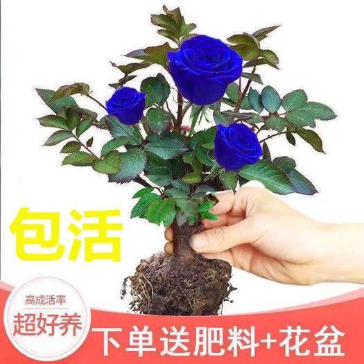 臨沂平邑縣 一顆嫁接多色玫瑰花苗四季開花客廳室內外月季花苗盆栽花卉綠植物