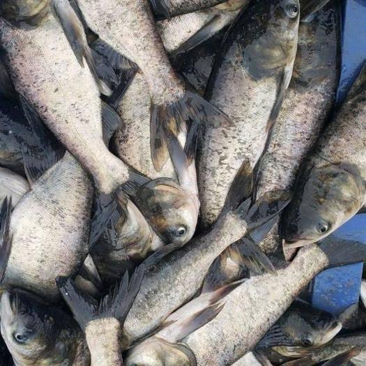 咸宁嘉鱼县 长期大量出售优质大头鱼雄鱼胖头鱼花鲢鲢鱼商品鱼及鱼苗