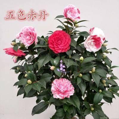 平邑縣 茶花苗,五色赤丹 一樹開花多個顏色庭院耐冬 帶花苞發貨